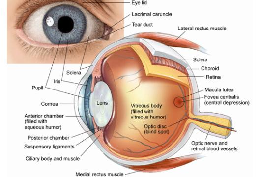 Eye Anatomy - academy of eye care